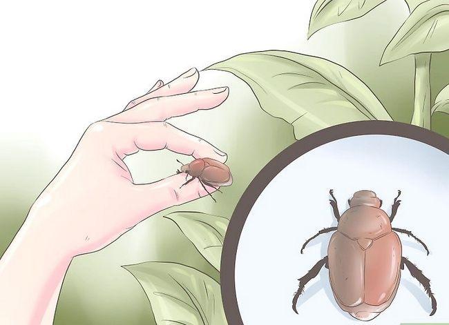 Titel afbeelding Kill Japanese Beetles Step 2