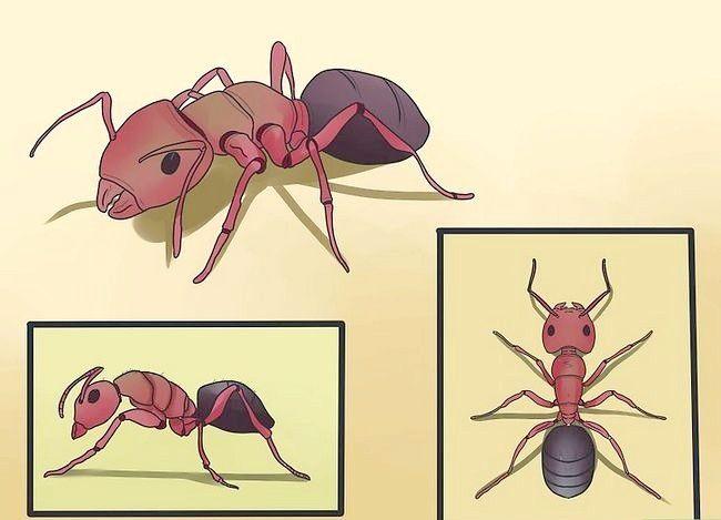 Hoe timmerman mieren te elimineren