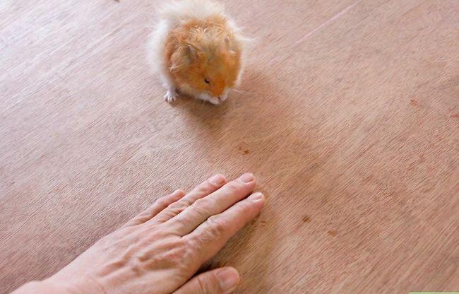 Titel afbeelding Teach a Hamster Tricks Step 12