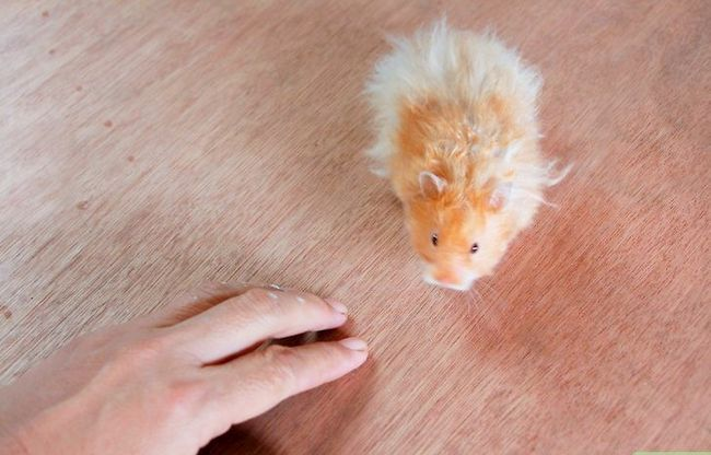 Titel afbeelding Teach a Hamster Tricks Step 13