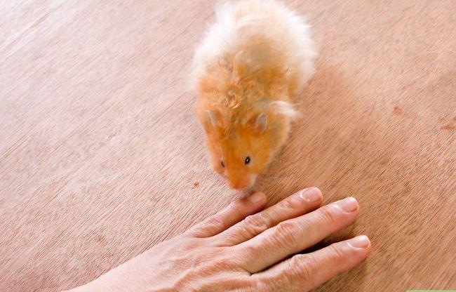 Titel afbeelding Teach a Hamster Tricks Step 14