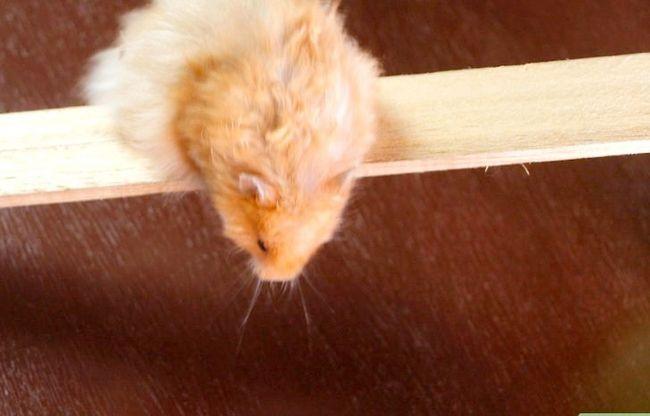 Titel afbeelding Teach a Hamster Tricks Step 15
