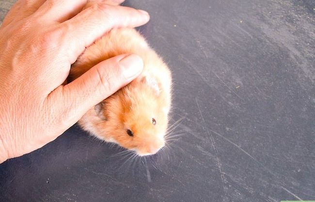 Titel afbeelding Teach a Hamster Tricks Step 2