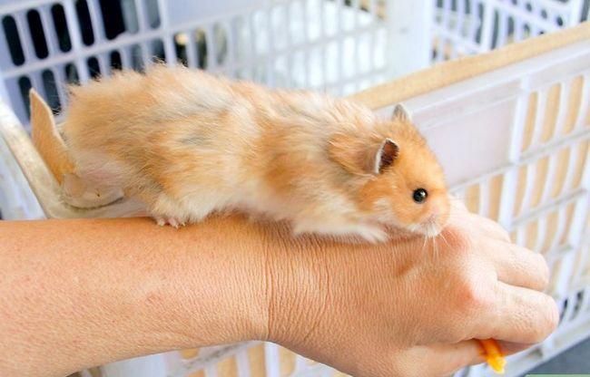Titel afbeelding Teach a Hamster Tricks Step 3