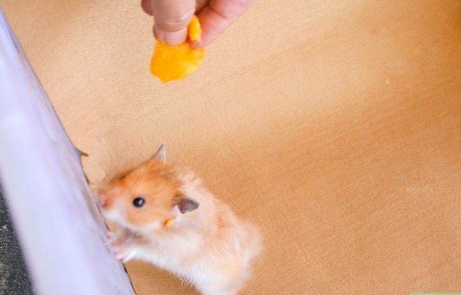 Titel afbeelding Teach a Hamster Tricks Step 7