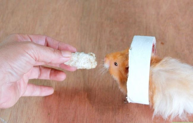 Titel afbeelding Teach a Hamster Tricks Step 10