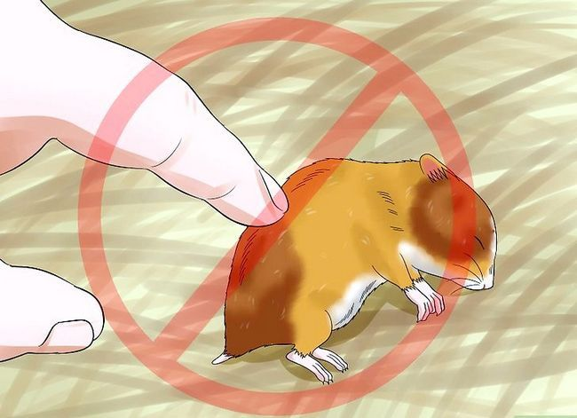 Titel afbeelding Train a Hamster Not to Bite Step 14