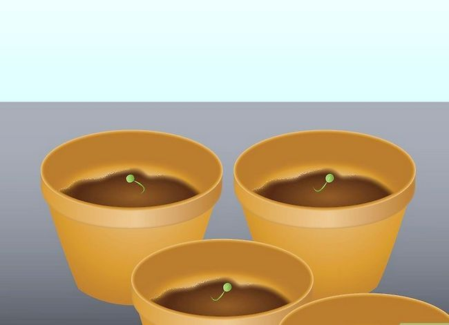 Titel afbeelding Germinate Peas Step 9