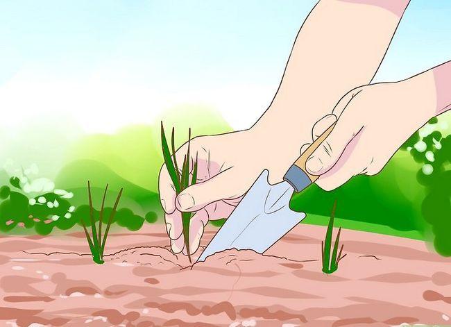 Titel afbeelding Grow a Clover Lawn Step 9