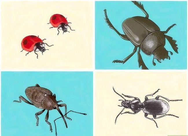Titel afbeelding Identify Beetles Step 9