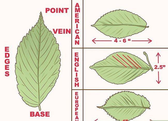 Titel afbeelding Identify an Elm Tree Step 1