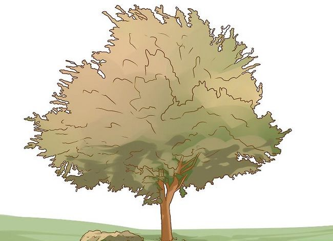Titel afbeelding Identify an Elm Tree Step 8
