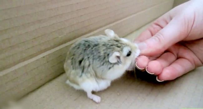 Titel afbeelding Play With a Hamster Step 3