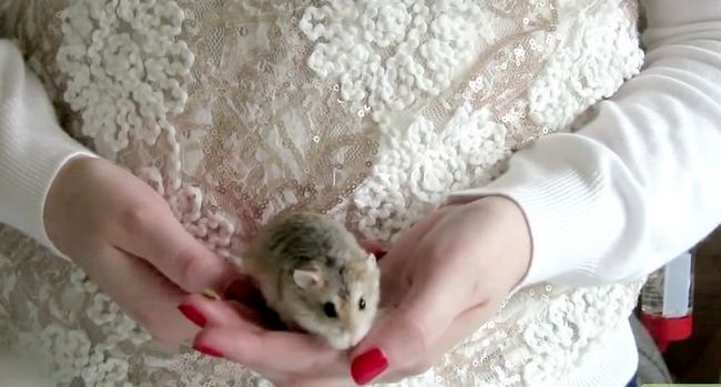 Titel afbeelding Play With a Hamster Step 4
