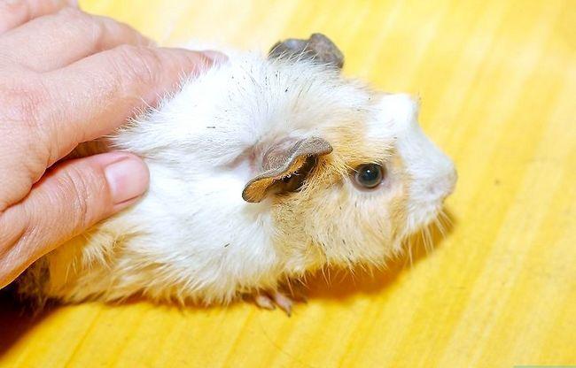 Titel afbeelding Pick Up a Guinea Pig Step 1