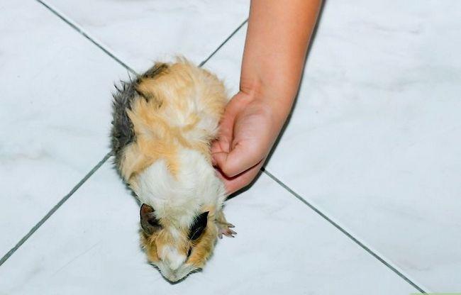 Titel afbeelding Pick Up a Guinea Pig Step 2