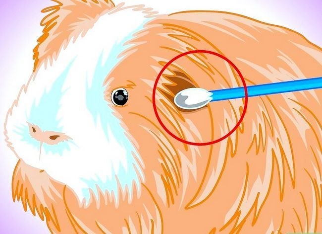 Titel afbeelding Keep Your Guinea Pigs Smelling Good Step 7