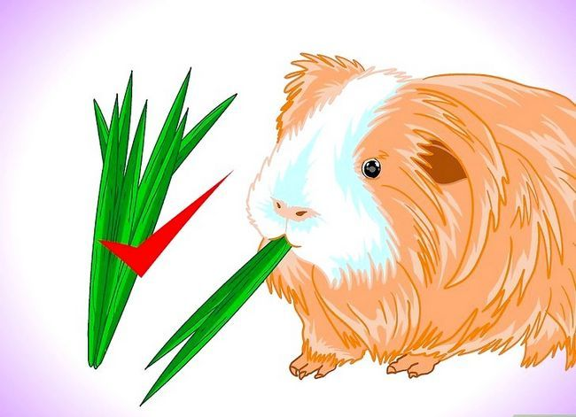 Titel afbeelding Keep Your Guinea Pigs Smelling Good Step 9