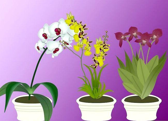 Hoe orchideeën te planten