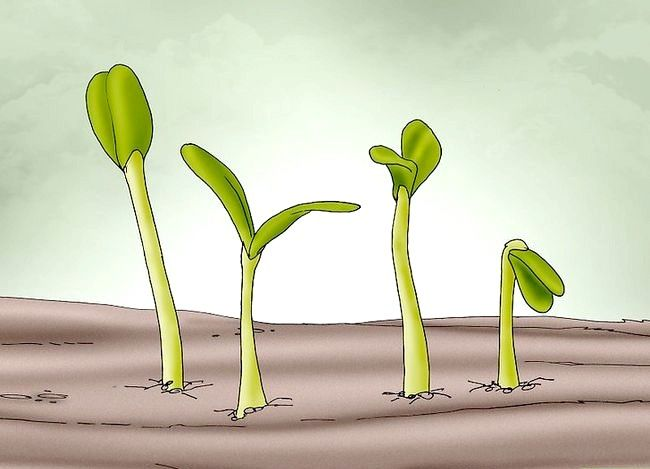 Titel afbeelding Plant Poppy Seeds Step 4