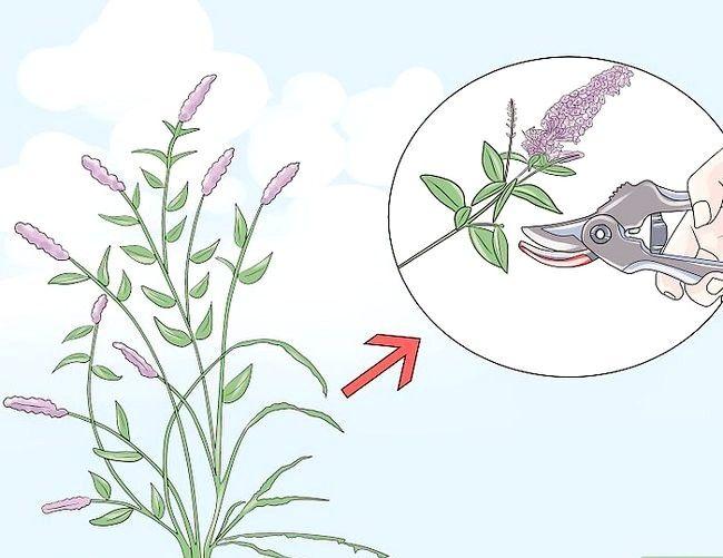 Titel afbeelding Prune a Butterfly Bush Step 4