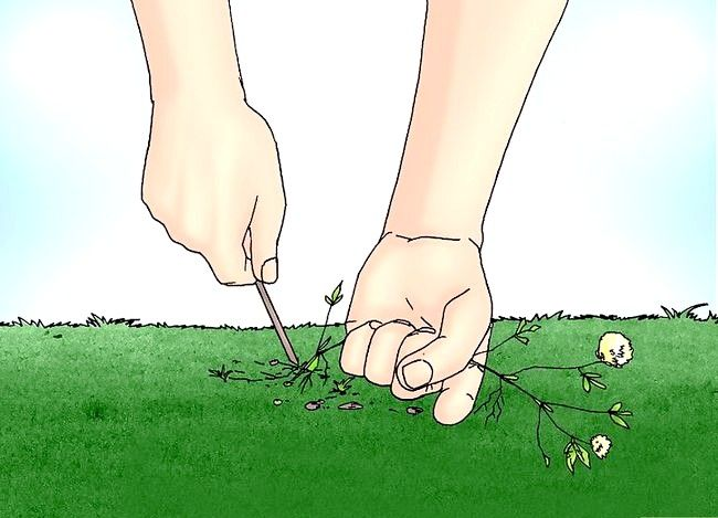 Titel afbeelding Remove White Clover from a Lawn Step 3