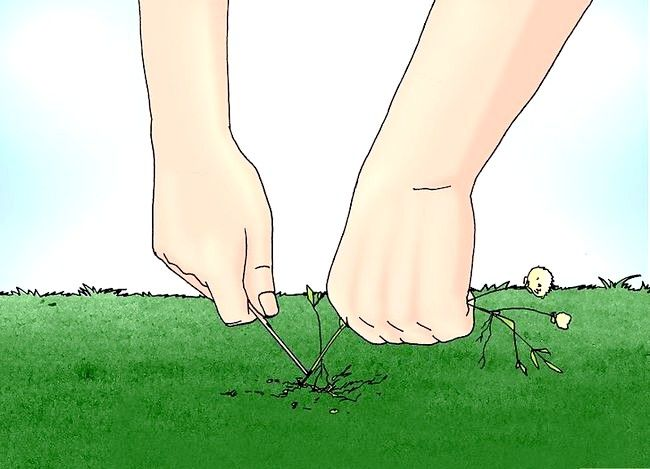 Titel afbeelding Remove White Clover from a Lawn Step 5