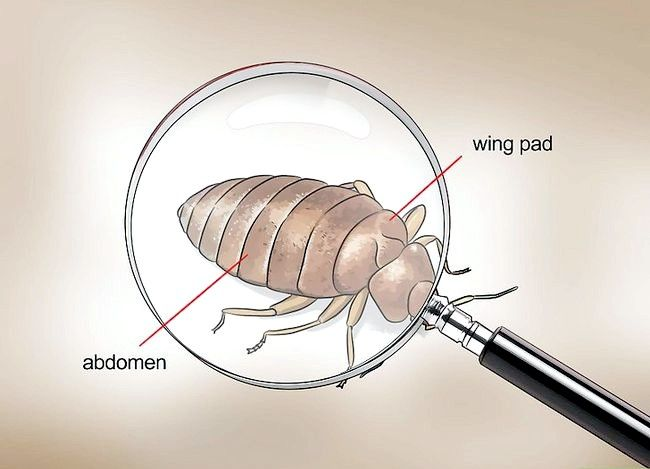 Titel afbeelding Recognize Bed Bugs Step 3