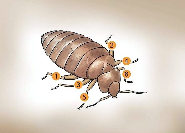 Titel afbeelding Recognize Bed Bugs Step 4