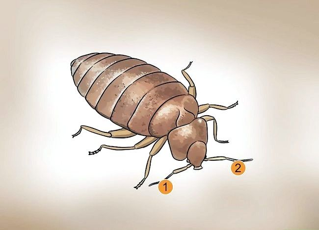 Titel afbeelding Recognize Bed Bugs Step 5