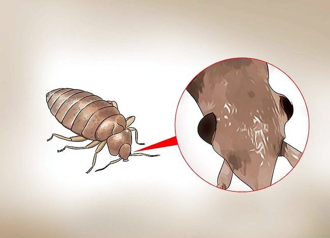 Titel afbeelding Recognize Bed Bugs Step 6