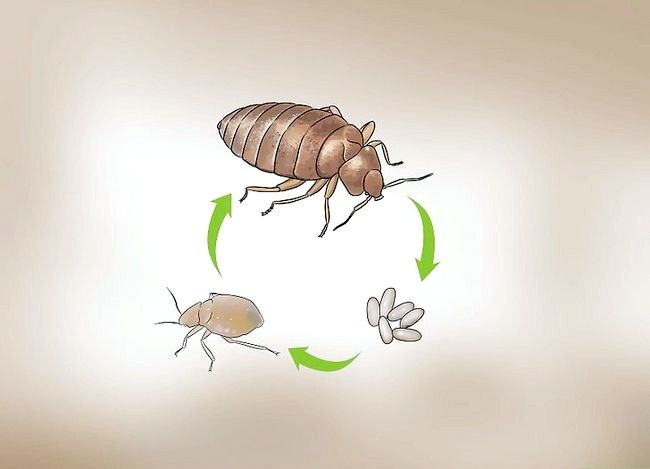 Titel afbeelding Recognize Bed Bugs Step 8