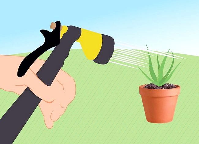 Titel afbeelding Revive a Dying Aloe Vera Plant Step 8