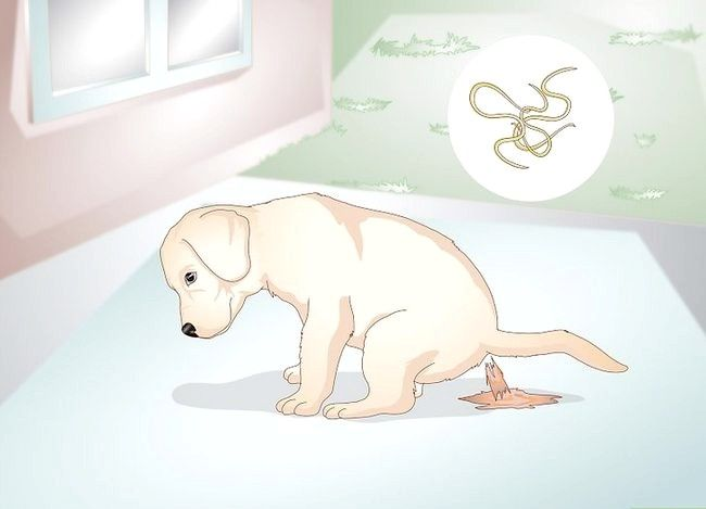 Titel afbeelding Know Your Puppy Has Worms Step 1