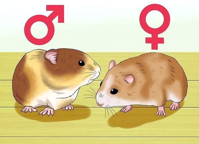 Titel afbeelding Know when Your Hamster Is Pregnant Step 2