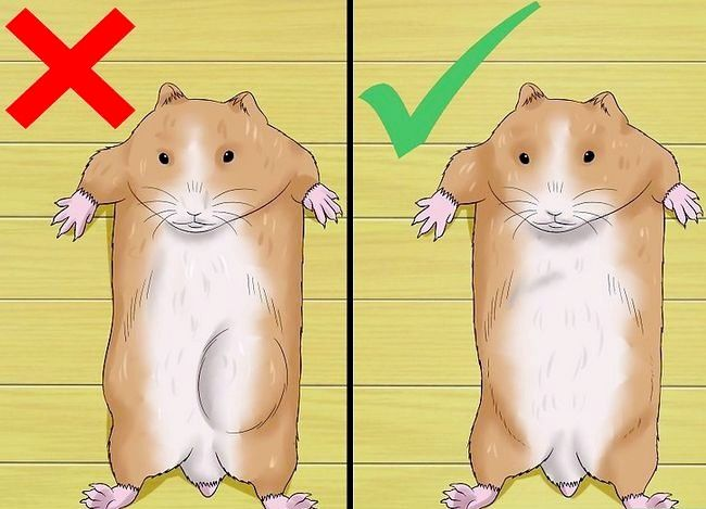 Titel afbeelding Know when Your Hamster Is Pregnant Step 4