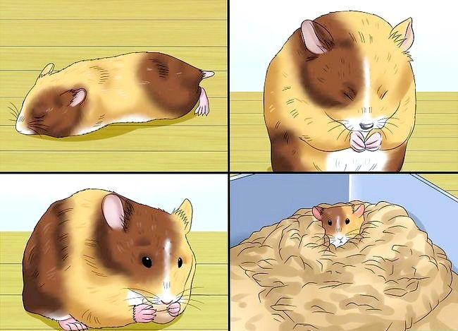 Titel afbeelding Know when Your Hamster Is Pregnant Step 8