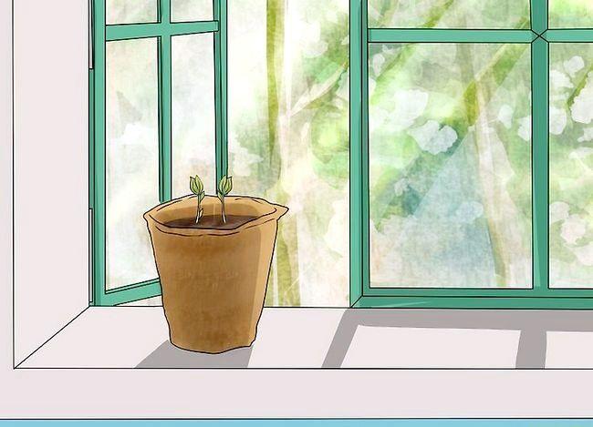 Titel afbeelding Plant Apple Seeds Step 15
