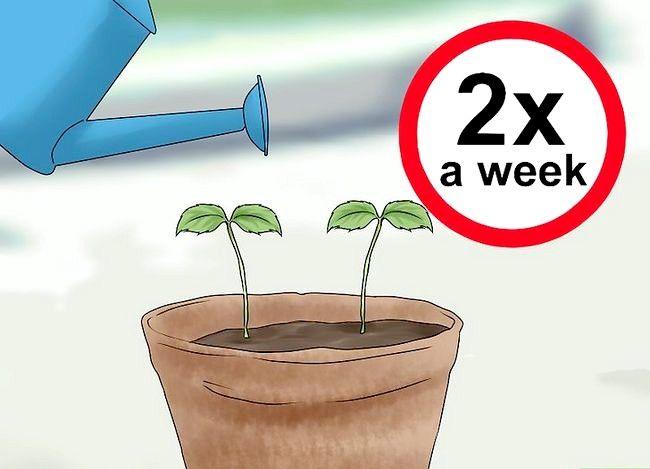 Titel afbeelding Plant Apple Seeds Step 16