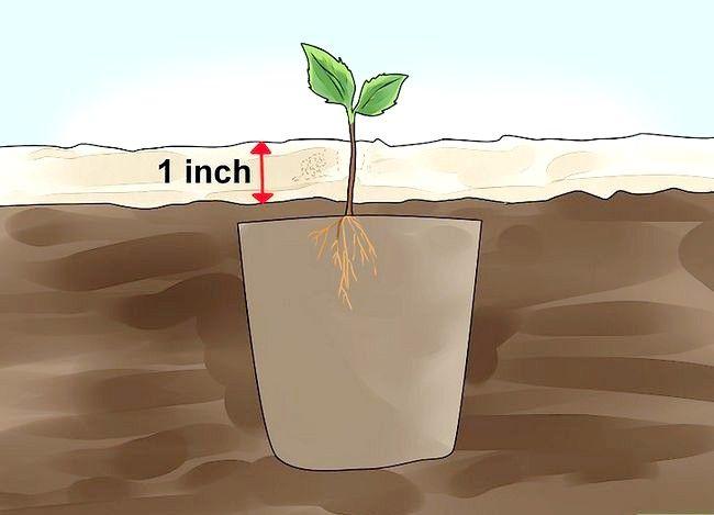 Titel afbeelding Plant Apple Seeds Step 19