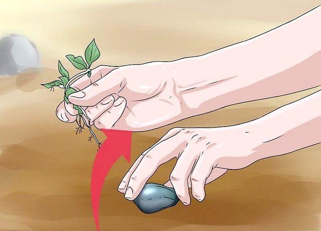 Titel afbeelding Plant Apple Seeds Step 5