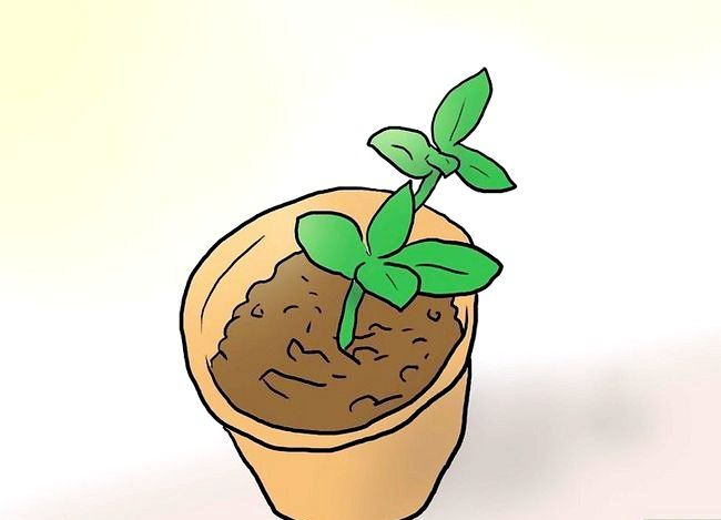 Titel afbeelding Plant Plumeria Seeds Step 9