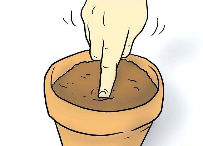 Titel afbeelding Plant Plumeria Seeds Step 4