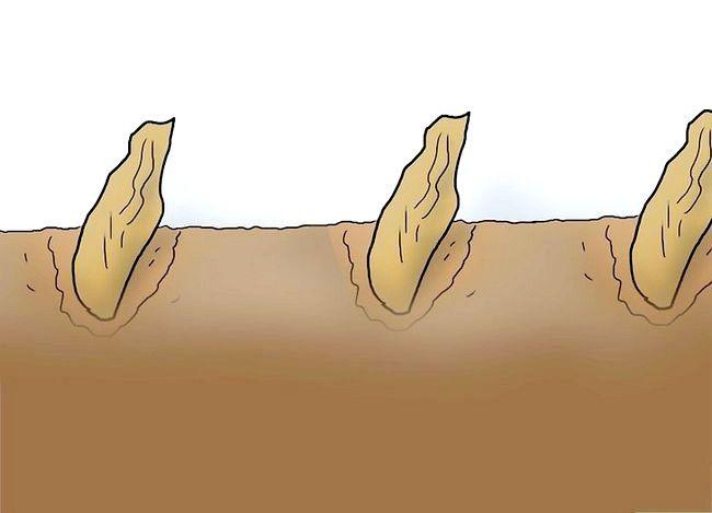 Titel afbeelding Plant Plumeria Seeds Step 6