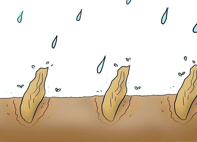 Titel afbeelding Plant Plumeria Seeds Step 8