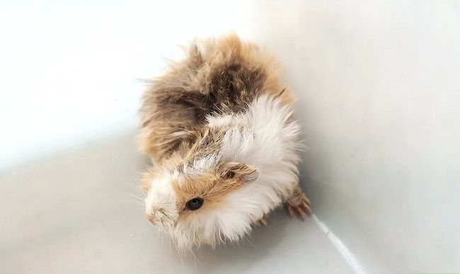 Titel afbeelding Hold a Guinea Pig Step 1
