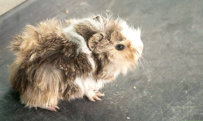 Titel afbeelding Hold a Guinea Pig Intro