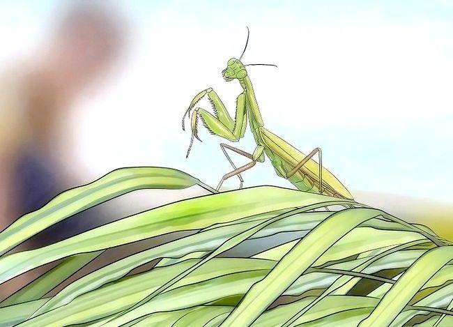 Titel afbeelding Keep a Praying Mantis As a Pet Stap 1