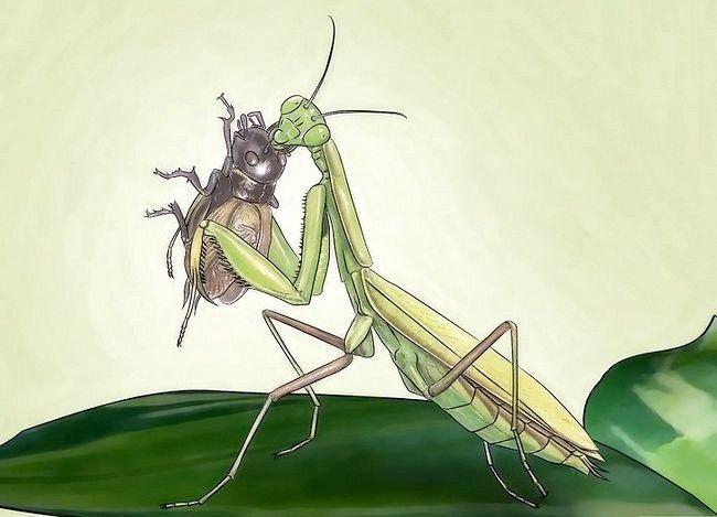 Titel afbeelding Keep a Praying Mantis As a Pet Stap 4