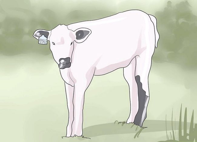 Titel afbeelding Have a Pet Cow Step 3